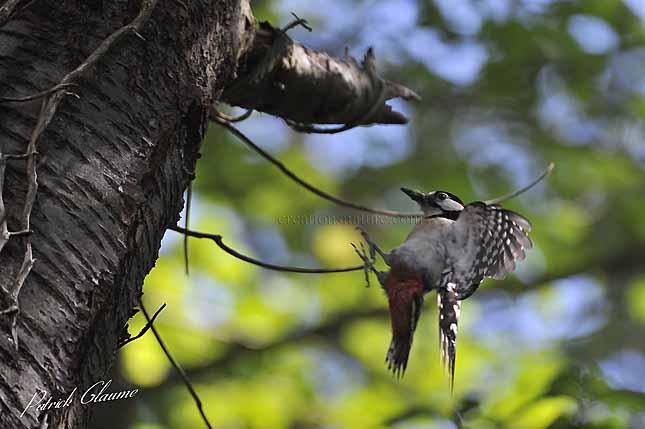 pic peiche arrivant au nid avec une chenille